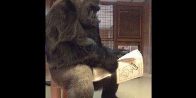 La organización Fundación gorila que ha explorado la comunicación entre las especies a través del uso de lenguaje de señas. Foto:Vía .facebook.com/Koko-The-Gorilla-Foundation