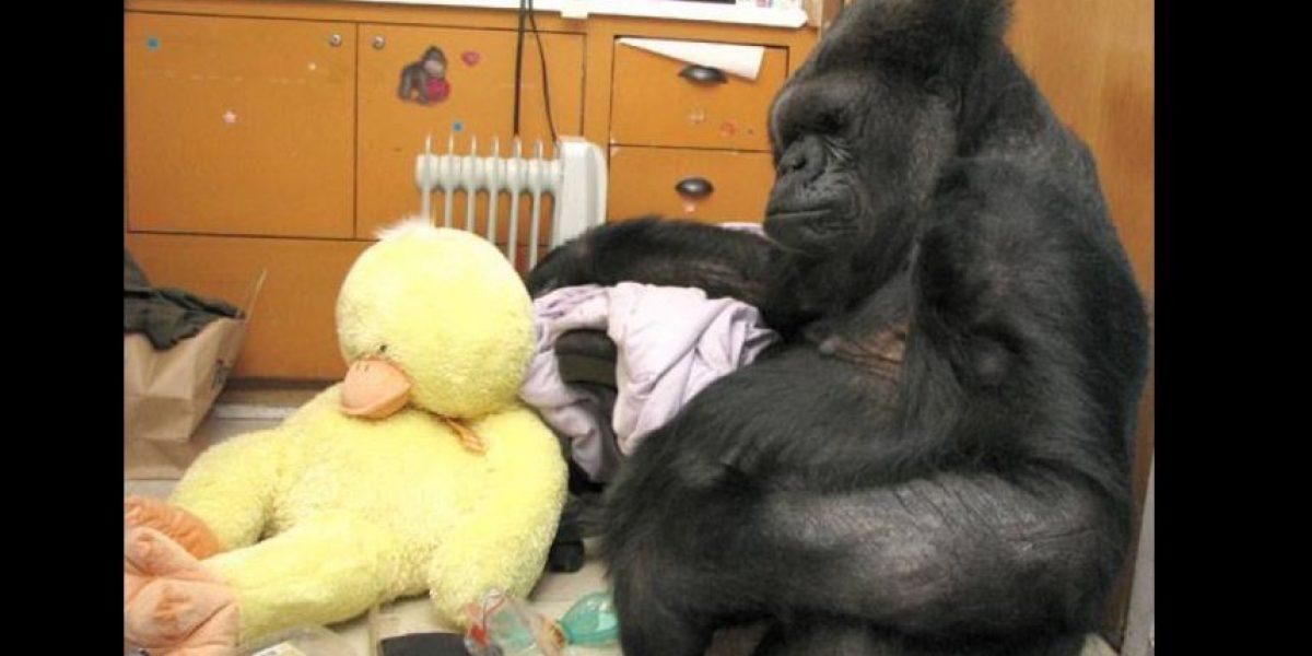 Esto recibió de regalo la gorila Koko por su cumpleaños 44