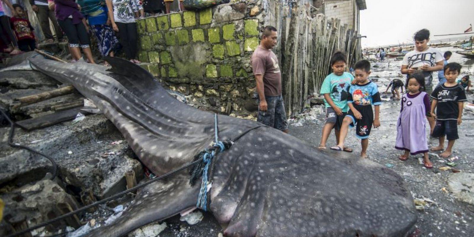 Los lugareños se reúnen alrededor de la carcasa de un tiburón ballena muerto en Indonesia. Foto:AFP