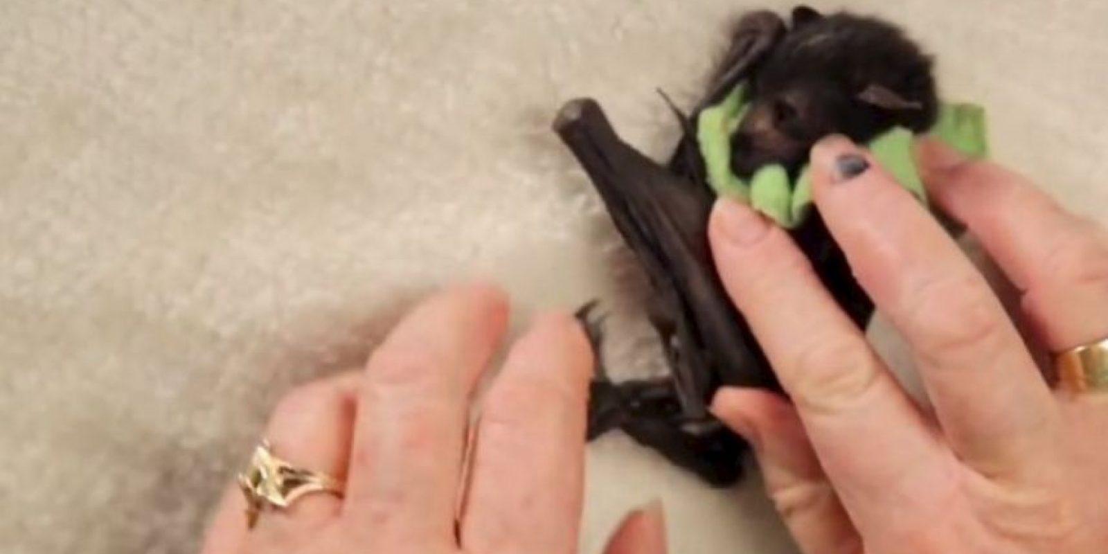 VIDEO: ¡Qué ternura! Así cuidan a estos bebés murciélago en Australia Se encarga de los animalitos que ya no pueden alimentarse. Foto:vía Wakaleo/Youtube