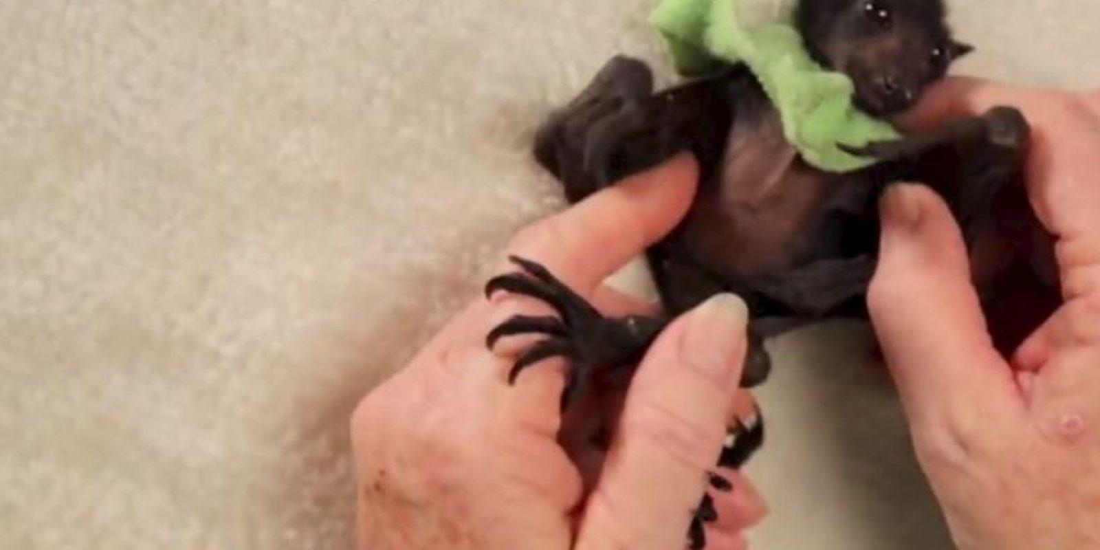 La organización Australian Bat Clinic cuida de ellos. Foto:vía Wakaleo/Youtube