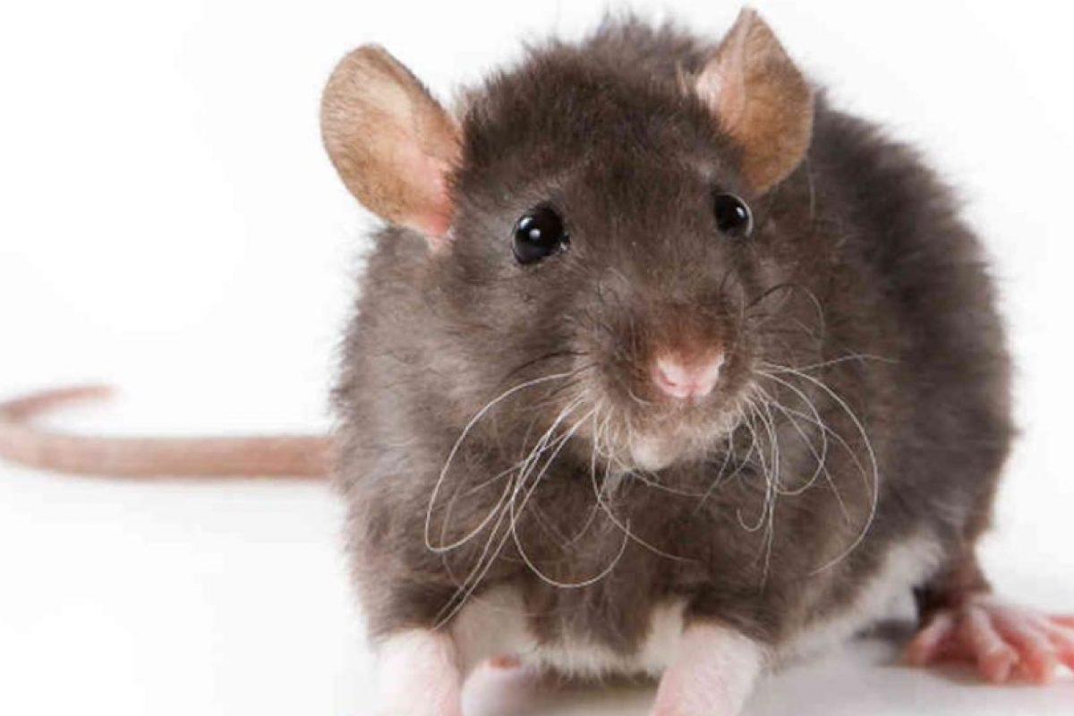 Y todo comenzó con una ratita como esta. Sus parásitos, traídos por los mercaderes que fueron a Oriente en el siglo XIV casi acaban literalmente con Europa en aquella época. Foto:vía Wikipedia