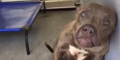 Video: Así reacciona un perro de pelea al ser acariciado por primera vez
