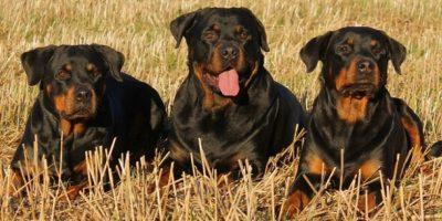 Debido a que las peleas de perros son ilegales, la mayoría de las personas que pelean a sus perros no llevan a sus perros con veterinarios si han sido lastimados. Más probablemente atenderán ellos mismos a sus perros, lo que requiere de cierto suministro de medicamentos. Foto:Pinterest
