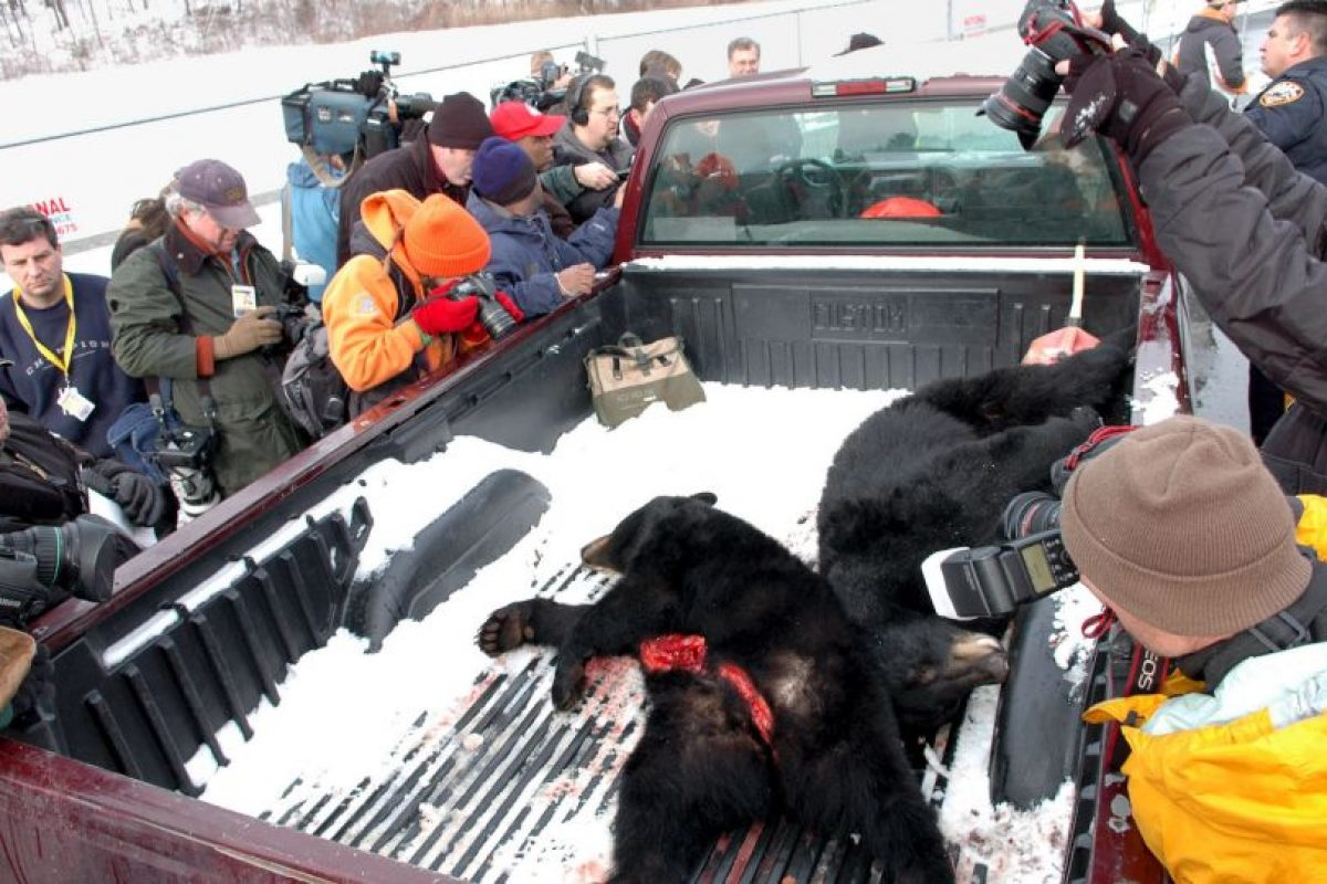 Se han registrado cuatro incidentes graves de ataques de osos contra los seres humanos. Foto:Getty Images