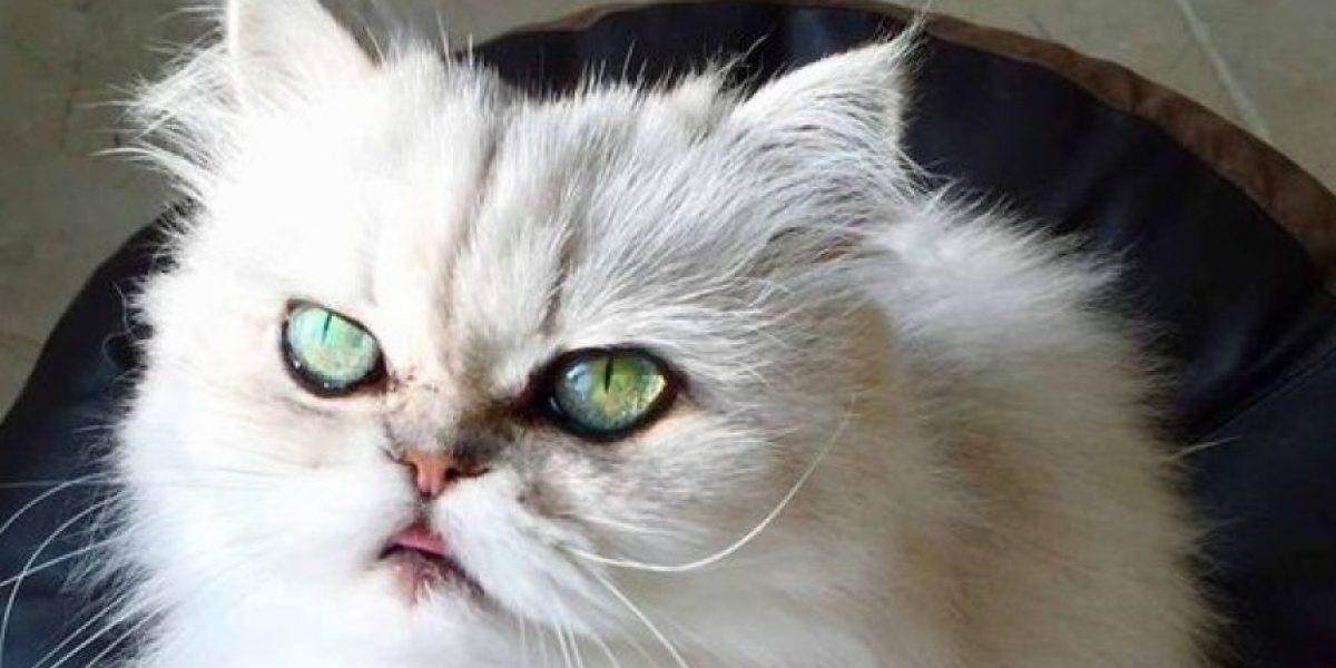 Este gato no era adoptado por culpa de su mirada diabólica