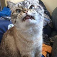 """Sus inusuales colmillos lo han convertido en el """"gato más malvado de Internet"""", incluso hay usuarios que lo llaman """"gato vampiro"""". Foto:Vía Instagram/@loki_kitteh"""