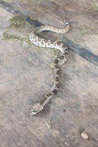 Y el siguiente es un caso extremo… A un hombre lo mordió una víbora cascabel. Foto:Vía Facebook/ Kevin Fowler