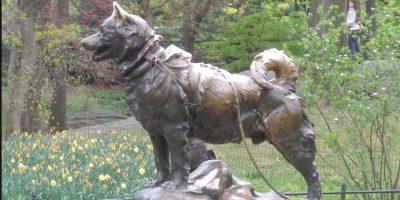 Al lastimarse el perro guía, Balto fue el único capaz de guiar el trineo para llevar los medicamentos hasta los hospitales del pueblo, convirtiéndose en el perro-héroe de Alaska. Foto:Vía Wikimedia.org