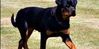 4. Yves es un Rottweiler que salvó la vida de su dueña, la estadounidense Katie Vaughan, una persona parcialmente paralizada que conducía su auto cuando de repente éste se detuvo. Foto:Vía Wikimedia.org