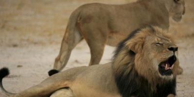 El famoso animal fue matado por el cazador estadounidense Walter J.Palmer, quien se desempeña como dentista en el estado de Minnesota Foto:AFP