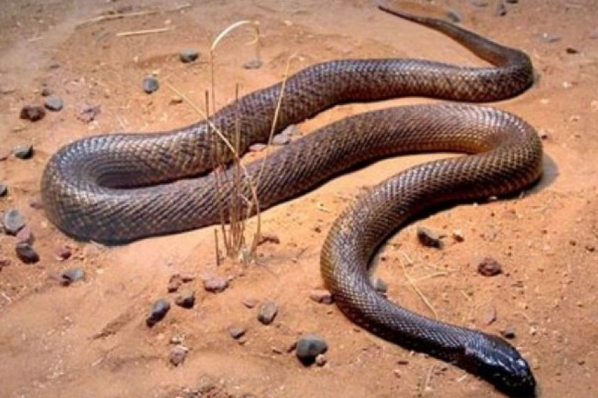 Su veneno es letal y es muy común en Oceanía. Foto:Wikimedia