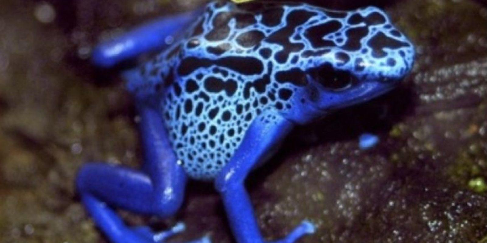 3. Rana dardo. Su color atrae a sus presas. Mide 5 cms de largo y tiene veneno para matar a 10 humanos adultos. Foto:Wikimedia