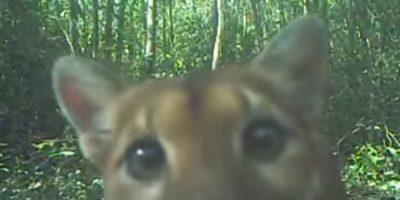 VIDEO. Simpático puma interactúa con las cámaras en Petén
