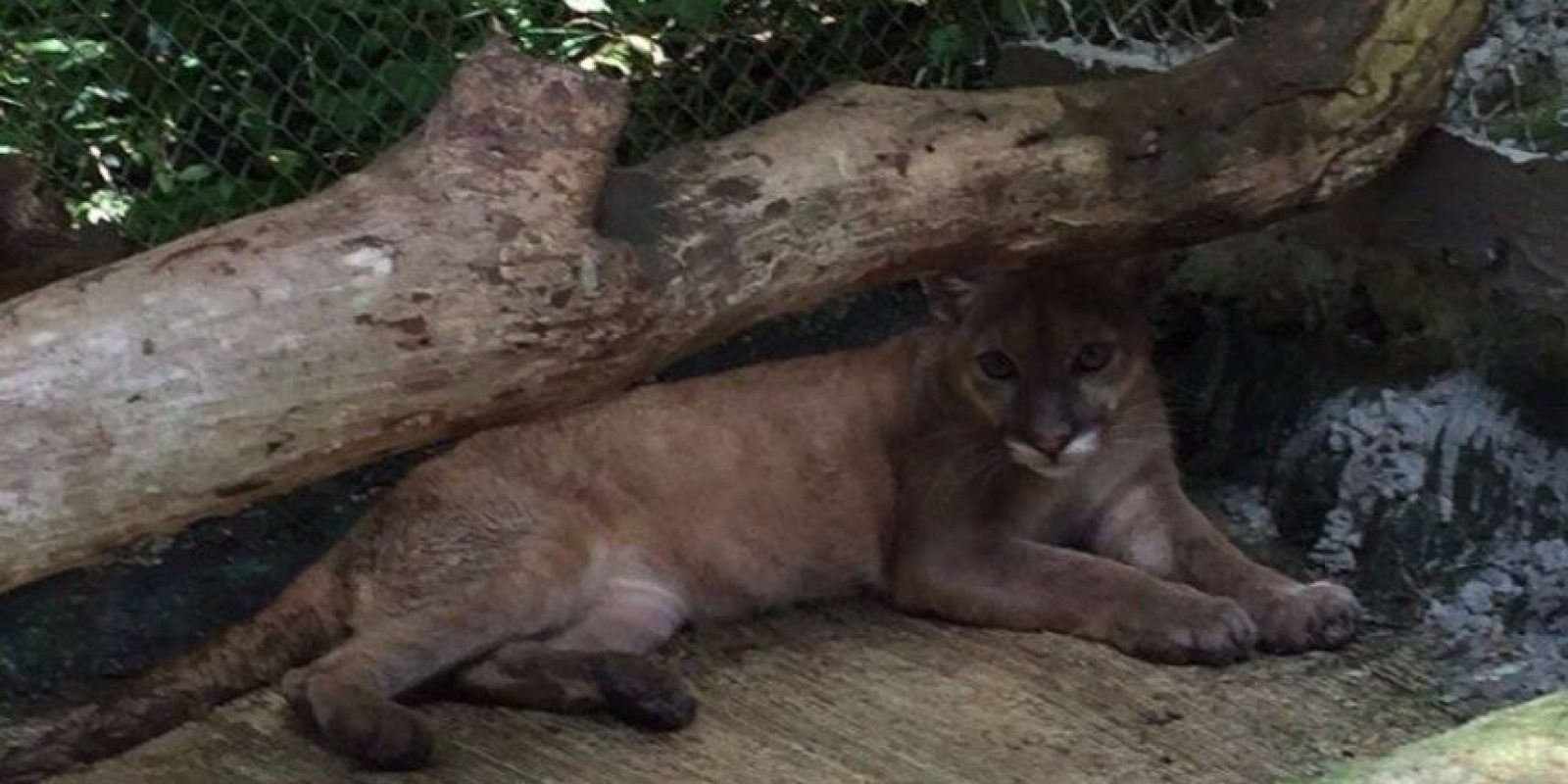 Foto:Puma en recuperación tras ser rescatado en Izabal por un vecino