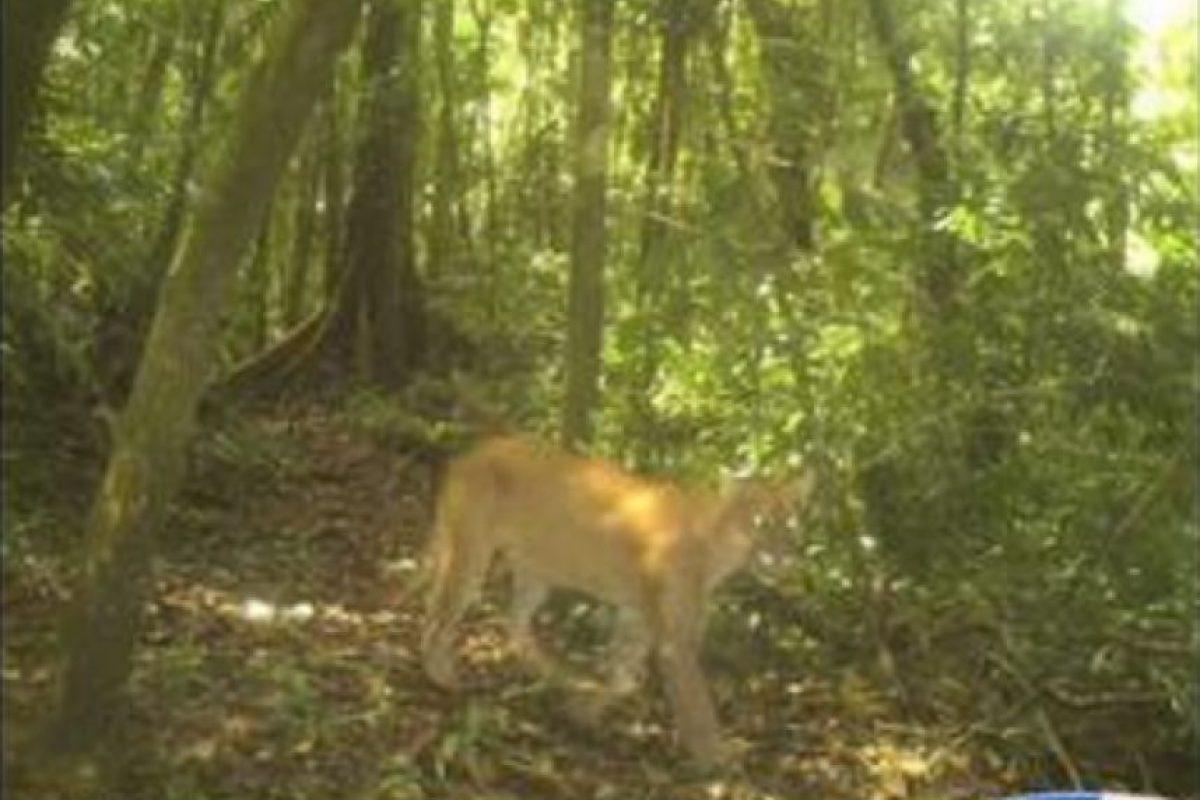 Foto:Puma fotografiado en Izabal