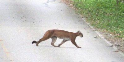 Foto:Puma fotografiado en el camino al Parque Nacional de Tikal