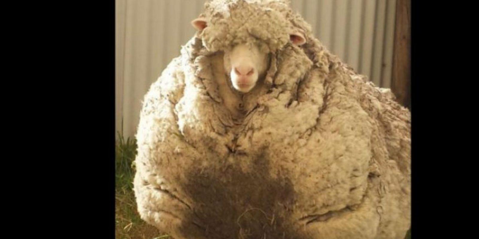 La oveja ahora llamada Chris fue encontrada y rescatada por la sociedad Real para la Prevención de la Crueldad contra Animales en Canberra (RSPCA), Australia. Foto:Vía Twitter @tvendange