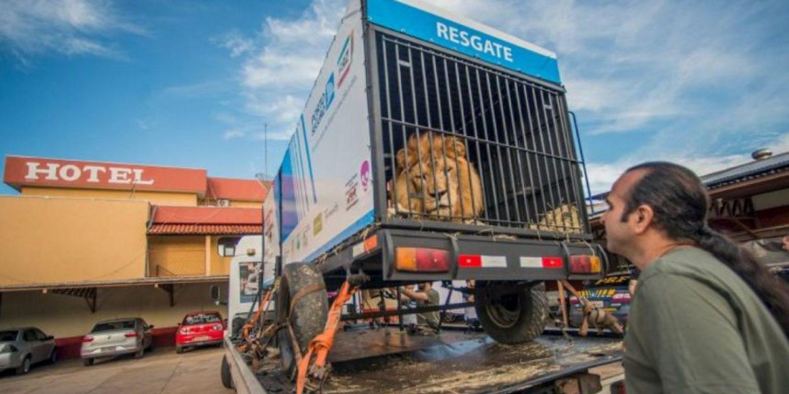 """""""Will"""" fue un león rescatado de un circo brasileño. Foto:Vía Facebook.com/RanchoDosGnomos"""