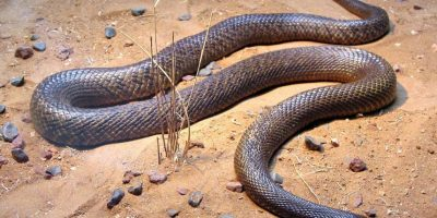 Llega a medir hasta 2,5 metros (8 pies con 2 pulgadas) de largo. Y su dosis letal igual que la serpiente anterior es de 0,03 mg/kg. Foto:Vía Wikimedia Commons