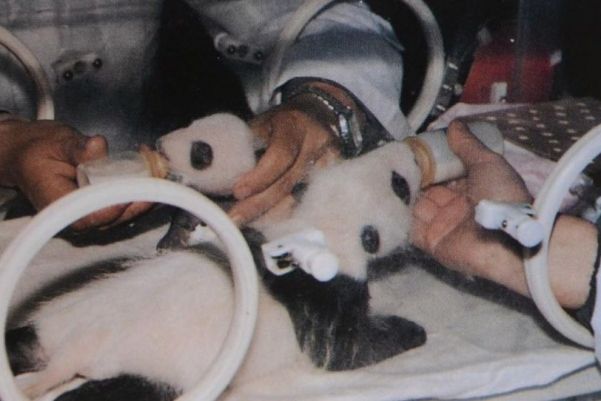 Los cuidan de recién nacidos Foto:Vía Facebook/iPanda
