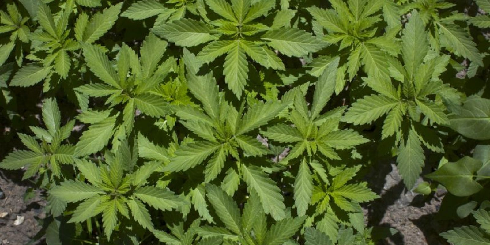 Prohibiciones: Queda prohibido conducir bajo efectos de marihuana. No se podrá fumar en el trabajo o estando a la orden del empleador. Ni en espacios cerrados, deportivos o educativos. Foto:Getty Images