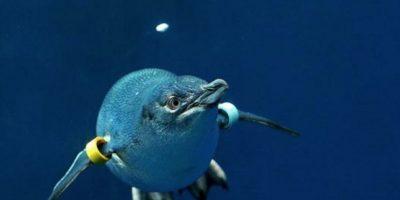 La especie más pequeña del animal. Foto:Vía zoo.org.au
