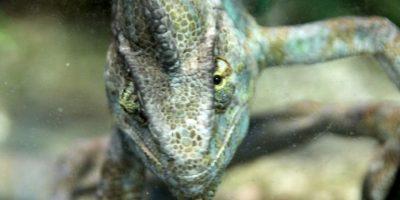 En América se llama a menudo camaleones a lagartos de la familia de los anoles, que no guardan ningún parentesco especial con los verdaderos camaleones. Foto:Wikipedia