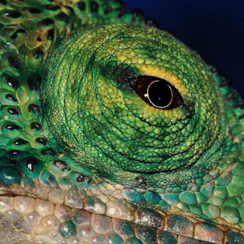 Los camaleones son una familia de pequeños saurópsidos (reptiles) escamosos. Foto:Wikipedia