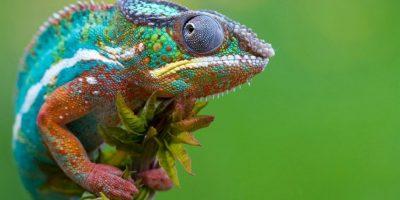 Existen cerca de 161 especies de camaleones, la mayor parte de ellas en África al sur del Sáhara. Foto:Pixabay