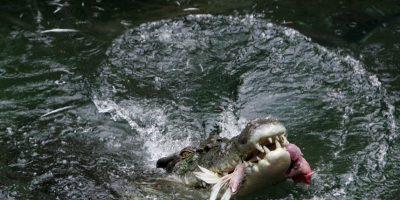 Son carnívoros y muy temibles por su voracidad Foto:Getty Images