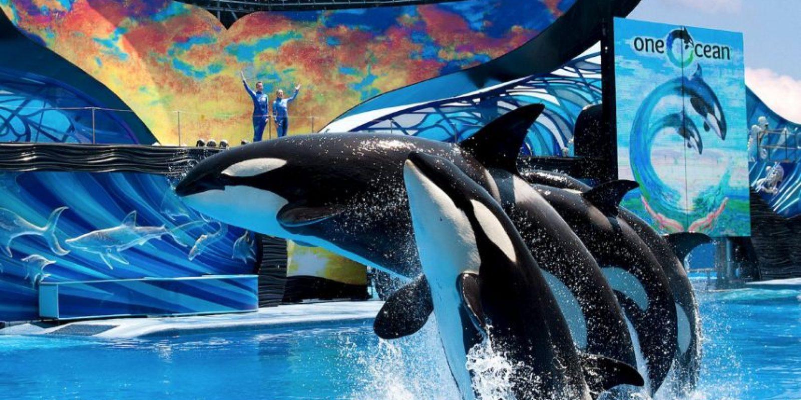En la vida salvaje se distribuyen por todos los océanos del mundo aunque prefieren las aguas templadas y frías. Foto:Vía facebook.com/SeaWorld