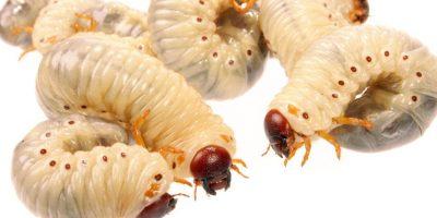 También gusanos. Parásitos y pelos, según el Food and Drug Administration Department. Foto:vía Getty Images