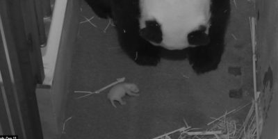 Así de pequeño era BeiBei cuando nació. Foto:Vía facebook.com/nationalzoo