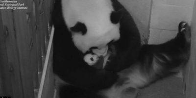 Con ayuda de los veterinarios BeiBei logró sobrevivir. Foto:Vía facebook.com/nationalzoo