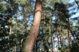 Todos los árboles de este bosque tienen la misma curvatura. Foto:Pixabay