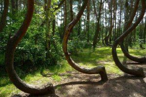 Es un pinar de aproximadamente 400 árboles. Foto:Wikimedia