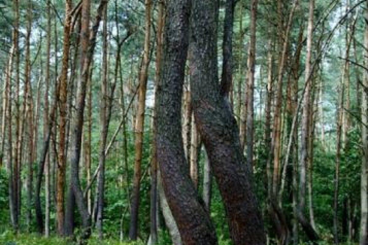 Los científicos creen que el tronco sufrió algún tipo de daño en su crecimiento. Foto:Wikimedia