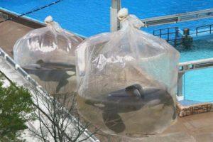 """La foto fue publicada por la cuenta de noticias de sátira """"The Onion"""", la cual tituló así: """"Empleados del SeaWorld colocan a ballenas en bolsas de plástico gigantes mientras realizan limpieza de los tanques"""". Foto:Vía Facebook"""