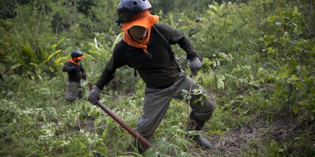FOTOS. Así es la erradicación de coca en Perú