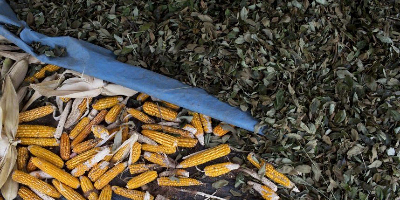 En esta imagen, tomada el 28 de octubre de 2015, hojas de coca tendidas junto a mazorcas de maíz en la propiedad de un agricultor luego de que su plantación de coca fuese destruida por trabajadores del grupo para el Control y Reducción de la Hoja de Coca en el Alto Huallaga (CORAH), en Nueva Esperanza, una remota localidad en la municipalidad de Ciudad Constitución, en la Amazonía peruana. Perú es el principal productor de cocaína del mundo y el segundo, por detrás de Colombia, en cultivos de hoja de coca. Foto:AP Photo/ Rodrigo Abd