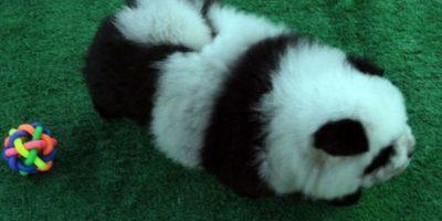 """""""Hace 10 años, el instinto natural de un chino era comerse un perro"""", explicó. """"Ahora somos como los occidentales y queremos uno como compañero"""". Foto:Vía Instagram/#PandaChowchowPandaChowchow"""