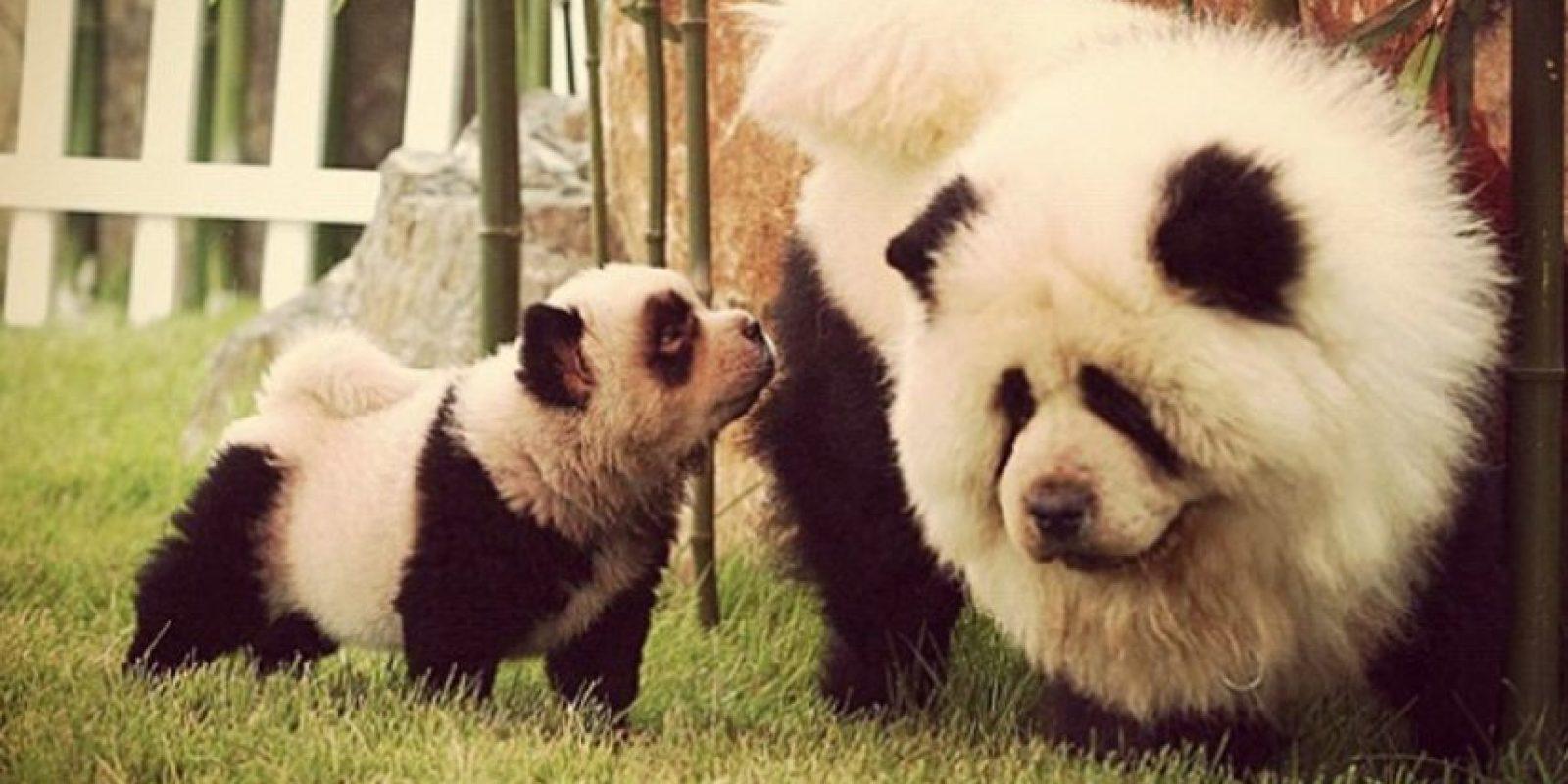 """Hsin dijo que bulldogs y labradores eran los favoritos, pero ahora están ganando terreno los """"perros panda"""". Foto:Vía Instagram/#PandaChowchowPandaChowchow"""