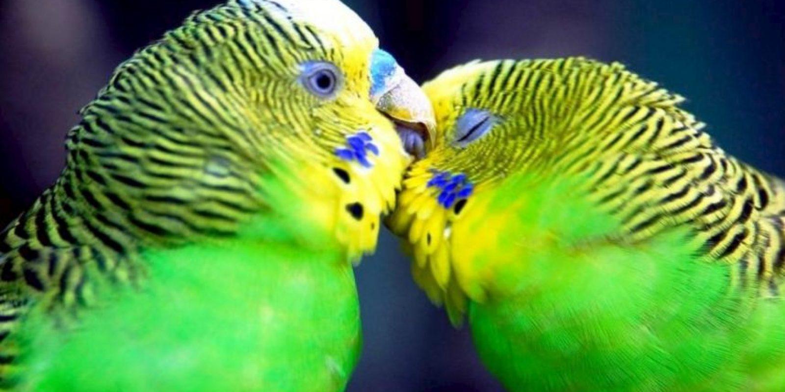 Se componen de alrededor de 120 especies con muchos tipos de sub-especies. Se cree que John Gould, un naturalista y miembro de la Sociedad Zoológica de Londres, trajo el periquito de Australia a Europa en la primera década de 1800. Foto:Flickr