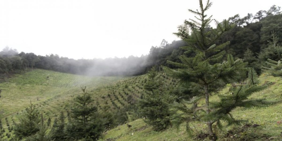 ¿En busca de árbol? Esta es la opción de un pinabete con el marchamo