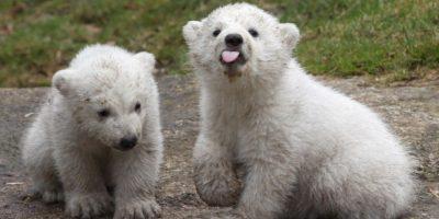 3. Conocer en vivo a un oso polar Foto:Getty Images