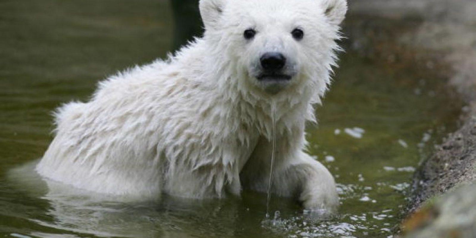 Actualmente quedan entre 20 y 25 mil ejemplares de estos osos Foto:Getty Images