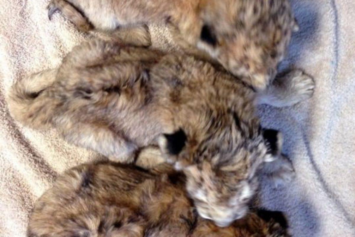 Así lucían los pequeños leones del Zoológico Woodland Park cuando nacieron. Foto:Vía Instagram.com/woodlandparkzoo