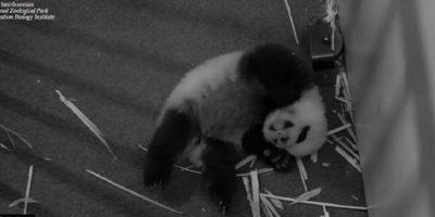Panda bebé Foto:Vía Instagram.com/smithsonianzoo