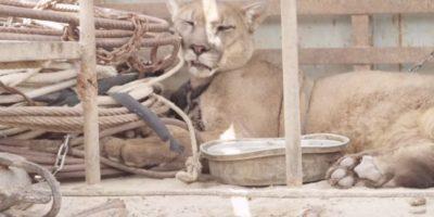 VIDEO. Mira la emocionante liberación de un puma que estuvo 20 años encadenado